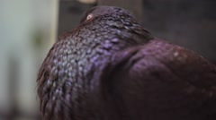 Pouter Pigeons (Columba livia) Stock Footage