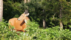 Banteng or Red Bull, male standing and eat grass in the forest - stock footage