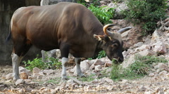 Banteng or Red Bull, male standing and eat grass in the forest Stock Footage