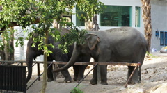 Asian Elephant waiting for feeding from tourist Stock Footage