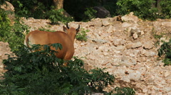 Banteng or Red Bull, female standing and eat grass in the forest Stock Footage