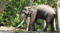 Asian Elephant bull chained during musth or must in HD Stock Footage