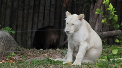 Young White lion playing with Asiatic black bear as Friendship Stock Footage
