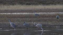 Three Cranes Probe for Food in Morning Stock Footage