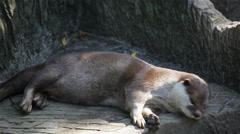 One otter sleeping and relaxing on the timber, in HD Stock Footage