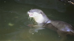 Otter eat small fish in pond, in HD Stock Footage