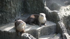 Couple otter sleeping and relaxing on the ground, in HD Stock Footage