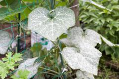 Powdery mildew - stock photo
