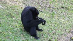 """White Cheeked"" Gibbon or Lar Gibbon on the ground Stock Footage"