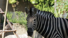 "Common Zebra, science names ""Equus burchellii"", closeup in HD Stock Footage"