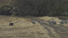Javelina runs away from Flock of Cranes Stock Footage