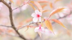 Sakura flowers blooming blossom in Chiang Mai, Thailand Stock Photos