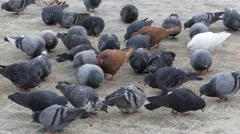 Many pigeons eating bread crumbs. Slow motion. Stock Footage