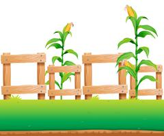 Seamless background with corn and fence - stock illustration