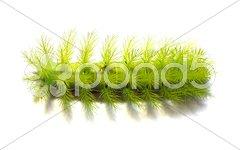 Green Caterpillar, Nature fauna - stock photo