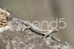 Mabuia Lizard - stock photo