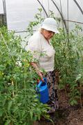 Grandma is watering tomatoes - stock photo