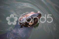 Sea Lion, Nature fauna - stock photo