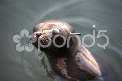 Sea Lion,  exterier scene - stock photo