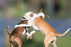 Wild play of two dogs at a park. - stock photo
