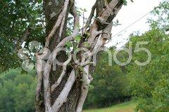Knotty tree - stock photo