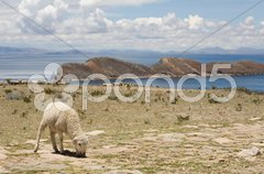 Sheep on Isla del Sol - Titicaca - stock photo