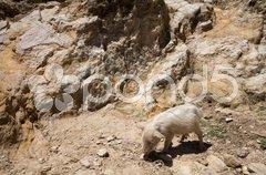 Piglet on Isla del Sol - Titicaca - stock photo