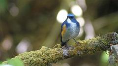Blue bird, male Himalayan Blue tail (Tarsiger rufilatus) eating worms Stock Footage