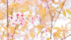 Stock Photo of Sakura flowers blooming blossom in Chiang Mai, Thailand