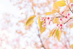 Sakura flowers blooming blossom in Chiang Mai, Thailand - stock photo
