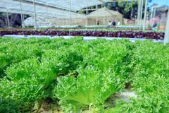 close up Filey Iceberg lettuce Hydroponic vegetables in agricultural organic  - stock photo