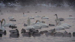 Ducks and swans on the lake in the wild - stock footage