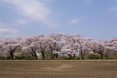 Road Lined with Cherry Blossoms Trees in Kitakami Tensho chi Park, Kitakami, Stock Photos