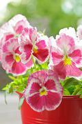 Pansy flowers viola wittrockiana red Stock Photos