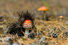 Small amanita mushroom in the autumn forest Stock Photos