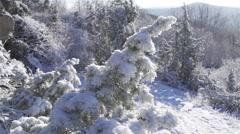 Movement in slow motion along a snowy pine illuminated by sunlight Stock Footage