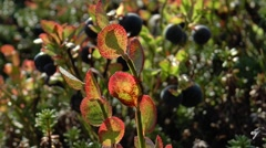 The leaves and berries of a bilberry. Stock Footage