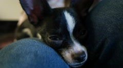 4K Cute Small Dog Resting Sleeping On Laps Stock Footage