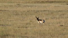 PRONGHORN ANTELOPE BUCK WITH ANTLERS LOOK AT CAMERA BEAUTIFUL LIGHT - stock footage