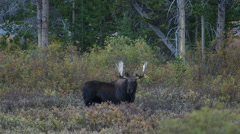HUGE BULL MOOSE IN WILLOWS AT DUSK OR DAWN; MEDIUM SHOT - CARS IN BACKGROUND - stock footage