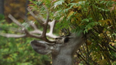 FOUR (4) POINT BUCK DEER EATING LEAVES; EXTREME CLOSE UP; SECOND BUCK WALKS Stock Footage