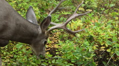 FOUR (4) POINT BUCK DEER EATING LEAVES; CLOSE UP Stock Footage