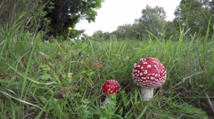Amanita muscaria  fly agarics growing in field, time lapse 4K Stock Footage