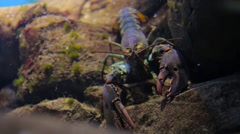Lobster closup Stock Footage