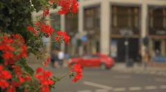 A wonderful bush with red flowers on a European street Stock Footage
