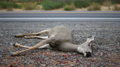 ROADKILL DEAD DEER DOE WITH CARS IN BACKGROUND; WIDE - stock footage