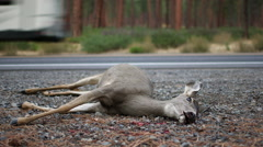 ROADKILL DEAD DEER DOE WITH RV IN BACKGROUND; WIDE - stock footage