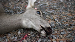 ROADKILL DEAD DEER DOE WITH BLOOD ON MOUTH/HEAD; CLOSE UP - stock footage