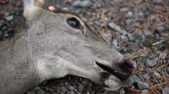 ROADKILL DEAD DEER DOE WITH BLOOD ON MOUTH/HEAD; EXTREME CLOSE UP - stock footage