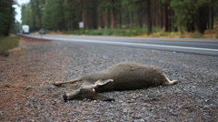 ROADKILL DEAD DEER DOE WITH RV IN BACKGROUND; WIDE ALT - stock footage